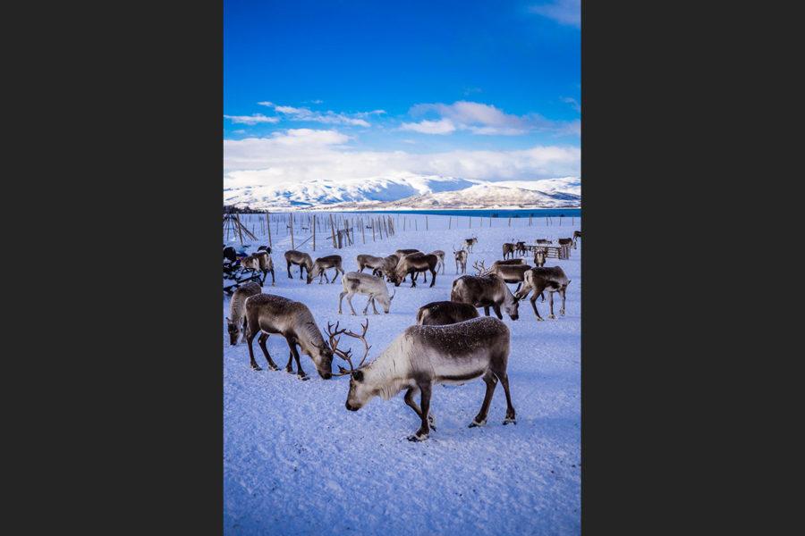 Un branco di renne in attesa della migrazione (Tromso, Norvegia 2017)